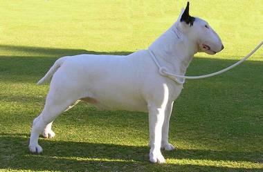 Умышленное вырождение пород собак Extra_95