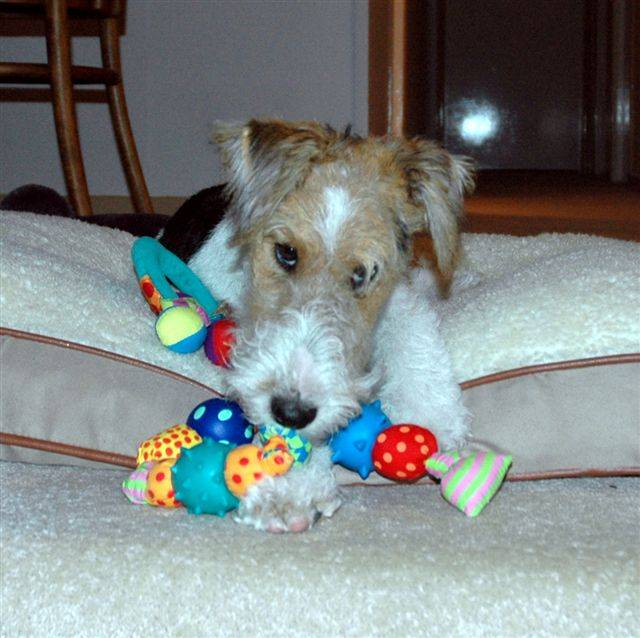YIRIWYRE FOX TERRIERS - WIREHAIRED